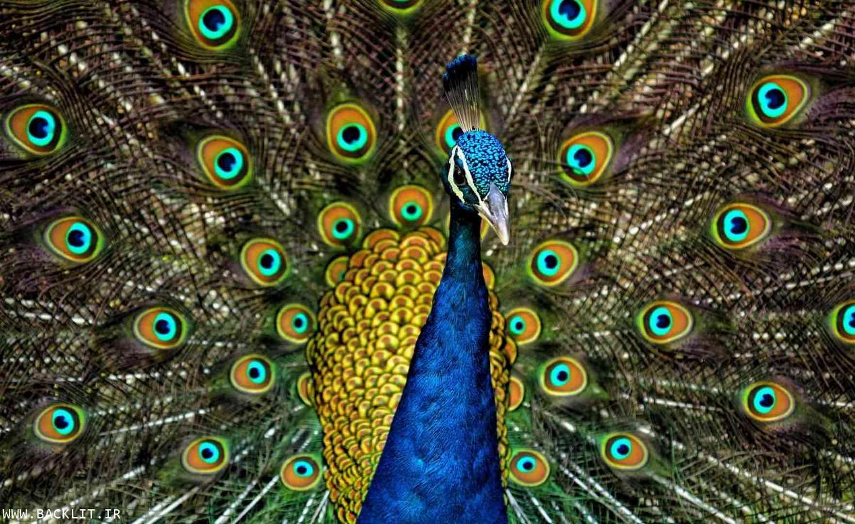 قاب عکس طاووس