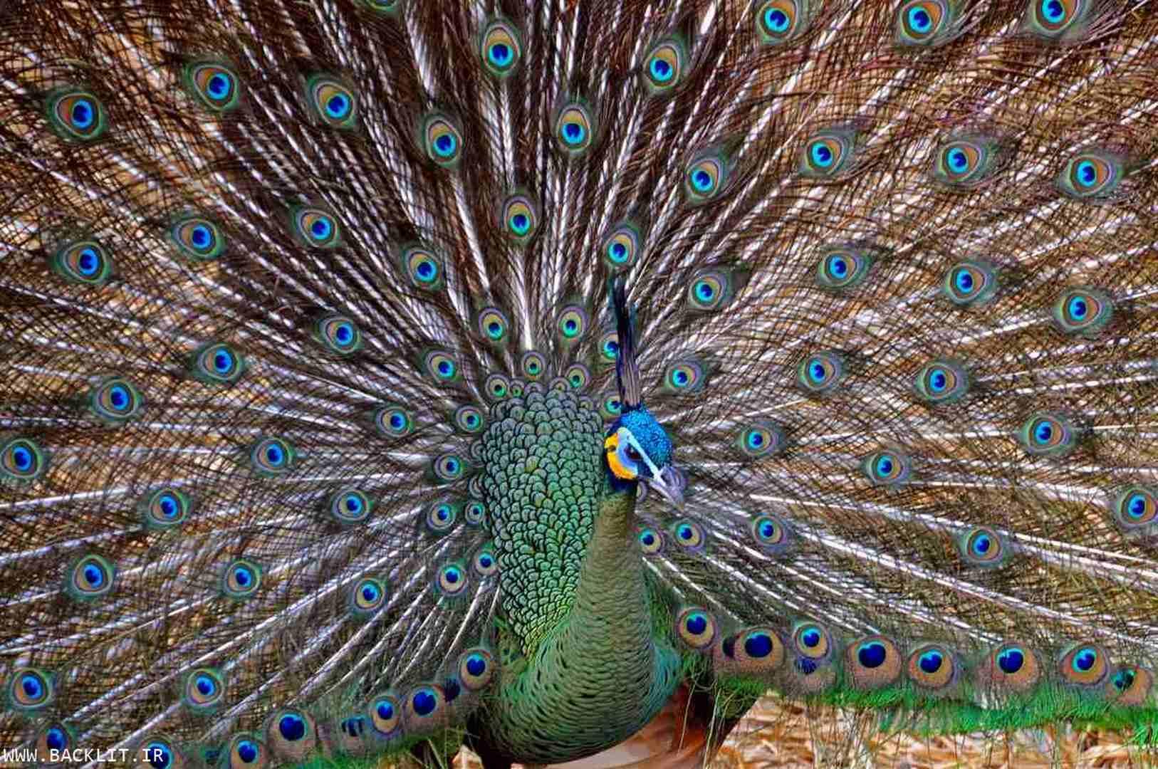 قاب عکس طاووس2