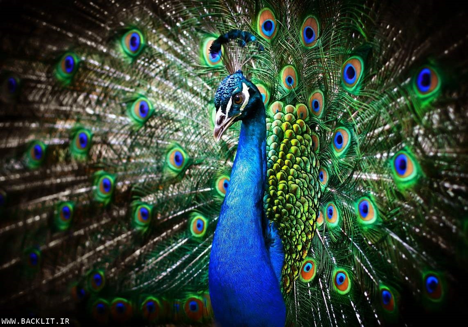 قاب عکس طاووس4