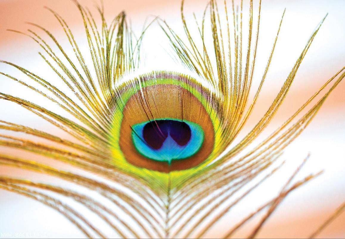 چاپ عکس پر طاووس