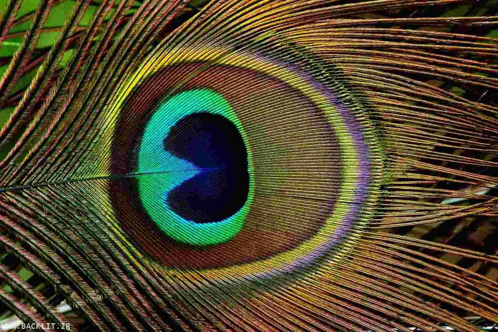 قاب عکس شیک پر طاووس