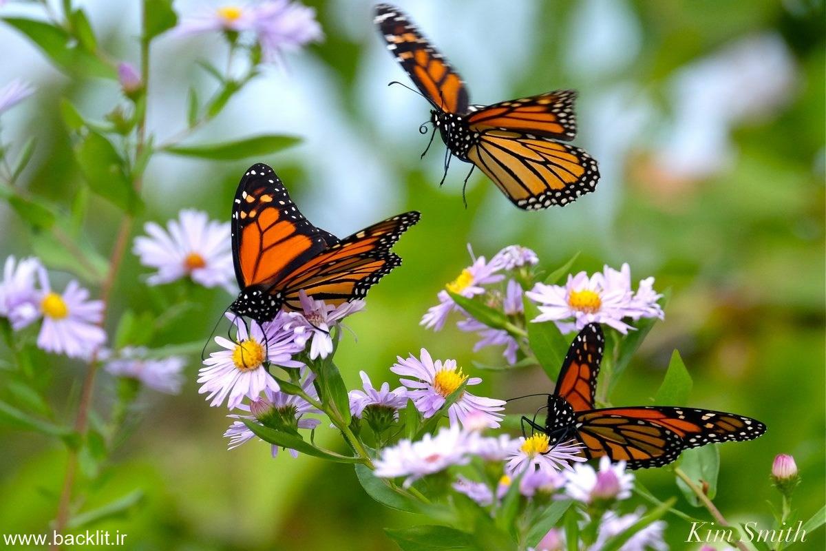 تابلو پروانه