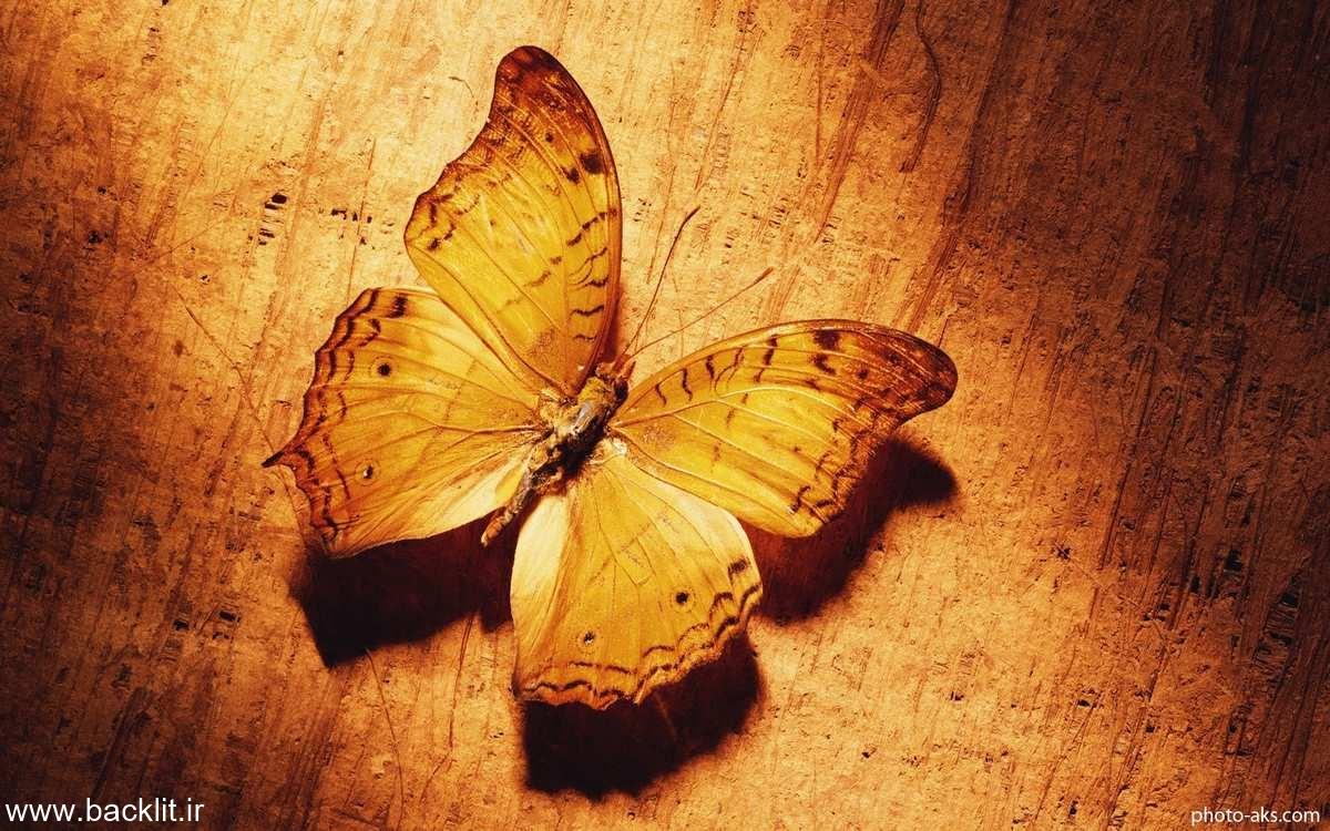 بکلایت پروانه